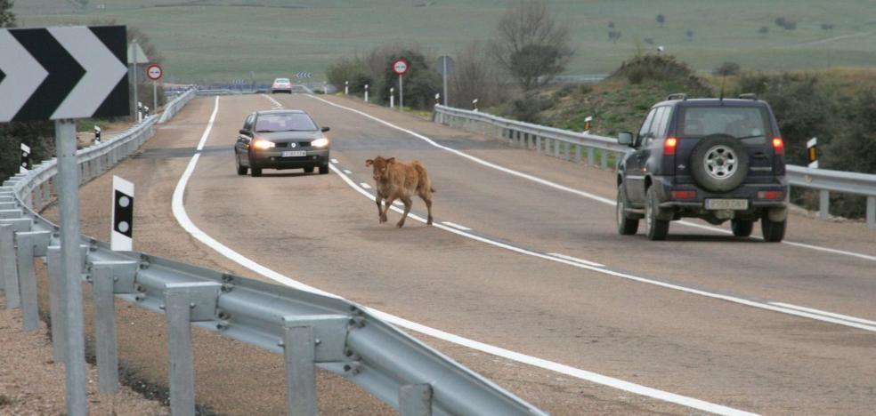 Casi 600 accidentes se registraron en 2017 en la provincia cacereña por animales en la carretera