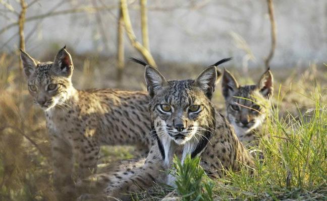 Linces criados en Granadilla serán liberados en los Montes de Toledo