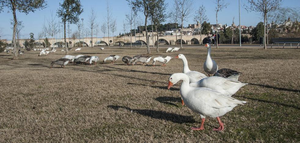 Los gansos del parque del río de Badajoz sí irán al centro de Sierra de Fuentes