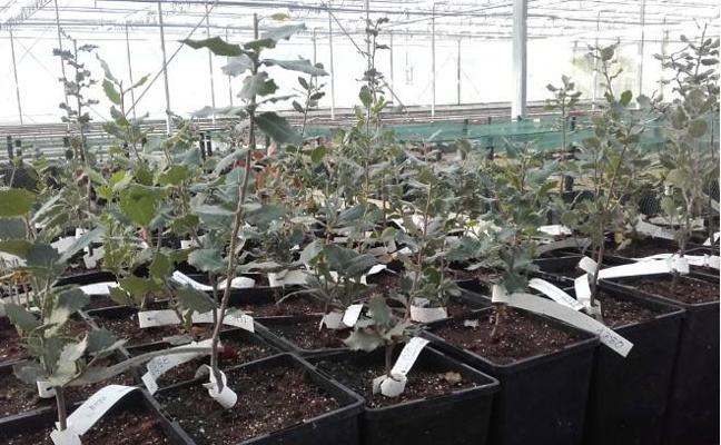 En busca de ejemplares resistentes a la seca en Malpartida de Plasencia