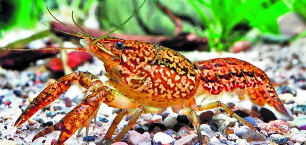 El cangrejo mutante