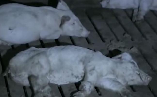 El Pozo se desvincula de la granja que apareció en 'Salvados'