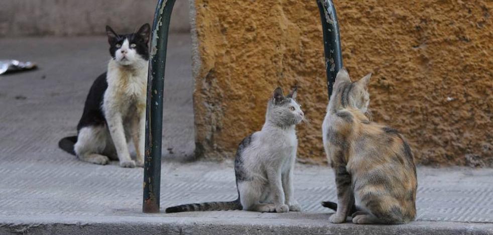 Cuacos de Yuste controlará y protegerá las colonias de gatos callejeros