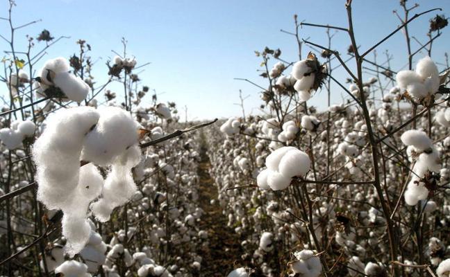 La región pierde 20 millones por no acceder a las ayudas al algodón, según La Unión