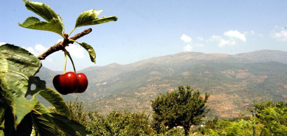 El 98% de las pequeñas explotaciones de cereza del Jerte no tiene seguro
