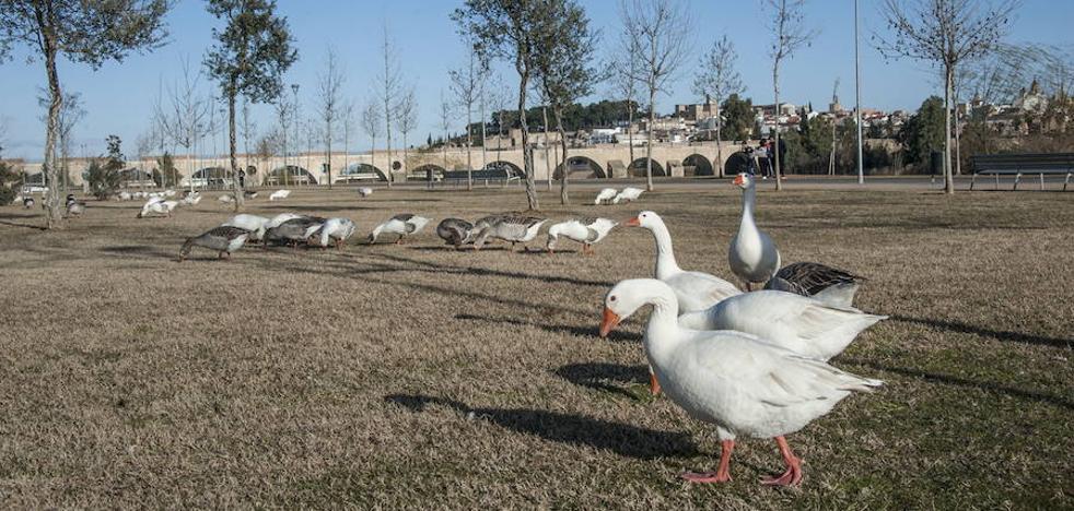Fragoso: «Si los gansos se van vivos, mejor. Pero no voy a poner en riesgo la Zepa»