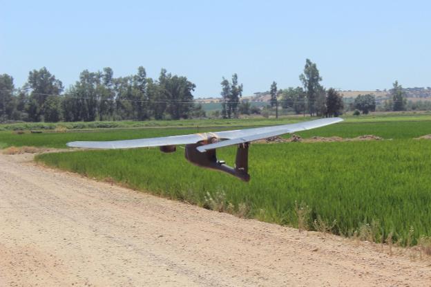 Un dron sobrevuela un arrozal extremeño. :: hoy/