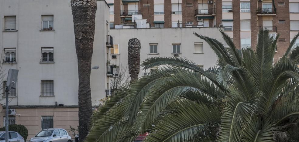 El picudo rojo afecta ya a 41 palmeras en Badajoz, el triple que hace dos años