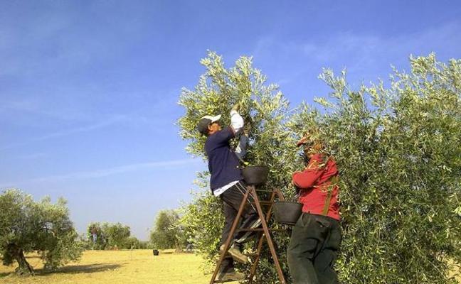 El olivar ecológico pierde peso en Extremadura