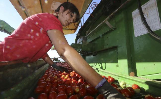 Extremadura logra su mejor campaña de tomate al crecer un 13% en 2017