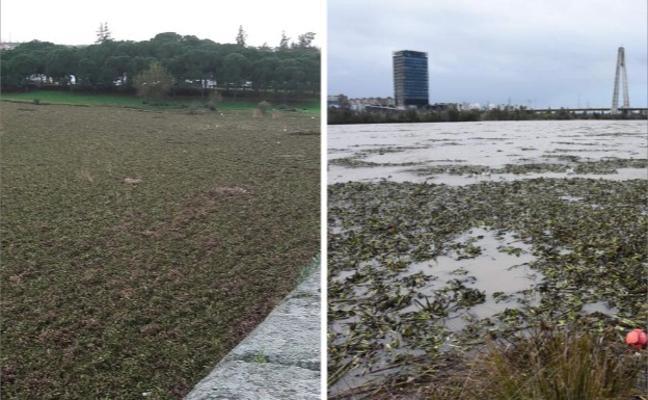 Invasión de camalote en Mérida y Badajoz por la rotura de barreras
