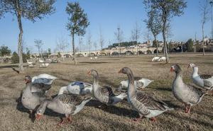 El Ayuntamiento de Badajoz pide permiso a la Junta para llevarse los gansos vivos