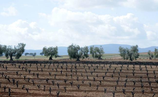 Las últimas lluvias garantizan la buena brotación del viñedo y el olivar