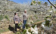 Los cerezos del Jerte alcanzarán su máxima floración del 1 al 10 de abril
