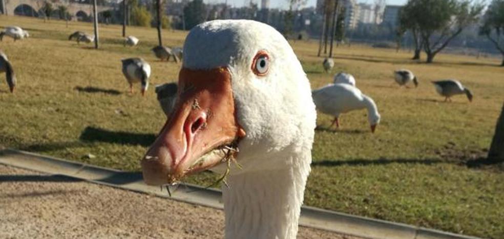 'La vida moderna' quiere repartir los «gansos locos» de Badajoz entre sus oyentes
