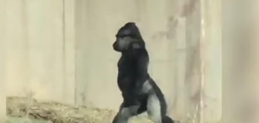 El gorila hombre