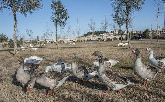 Fragoso cree que se va a solucionar el problema de la superpoblación de gansos