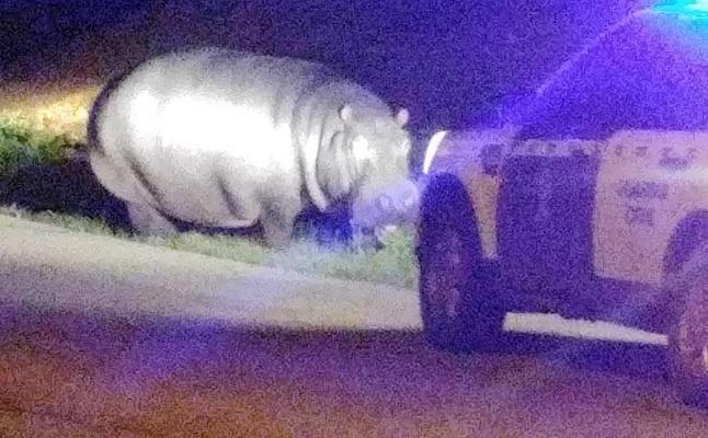 Un hipopótamo que se escapó de un circo recorre La Garrovilla