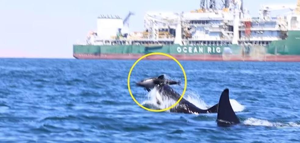 Dos orcas atacan a un delfín