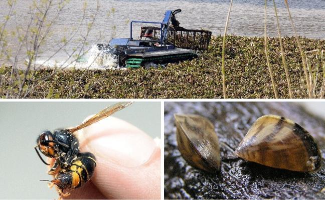 Camalote, mejillón cebra y avispa asiática, especies invasoras que más preocupan a Extremadura