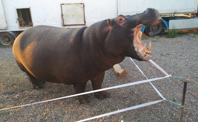 Pipo, la hipopótama experta en fugas