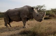 Sacrifican al último ejemplar macho de rinoceronte blanco del norte