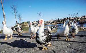 Seo/Birdlife alerta de que los gansos de Badajoz pueden multiplicarse esta primavera