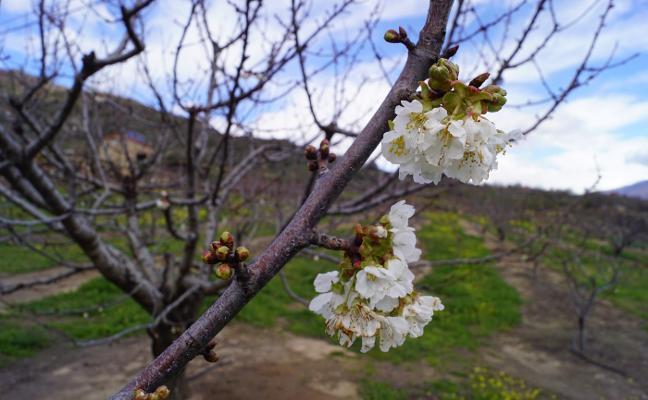 Primeras flores de cerezo, en El Torno