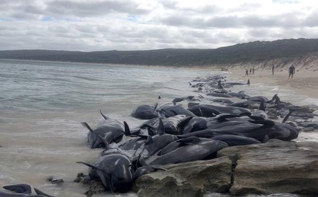 Más de 150 ballenas quedan varadas en una playa al sur de Australia