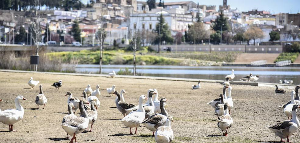 Principio de acuerdo entre la Junta y el Ayuntamiento de Badajoz para trasladar a los gansos