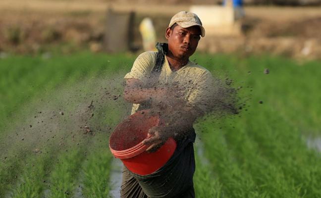 El precio del arroz ha bajado a niveles de hace 20 años, según UPA
