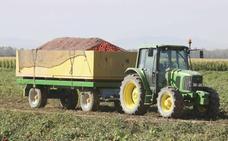 Desciende la contratación y superficie plantada de tomate en Extremadura