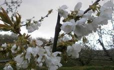Piden a los visitantes del Jerte que no arranquen las ramas de los cerezos