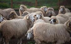 Las ovejas bomberas de Canarias