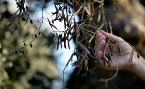 Llega a Madrid la bacteria que mata olivos, viñedos y frutales