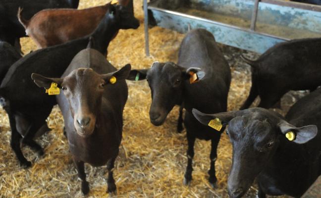 Liquidan la PAC de 2017 con las ayudas al ovino y al caprino