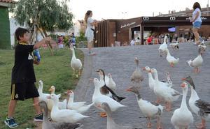 Mañana comienza en Badajoz el reparto de 345 gansos entre particulares e instituciones