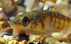 Ecologistas en Acción pide a la Junta un plan para salvar al pez espinoso