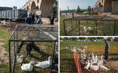 Maguilla y Riolobos se llevan los primeros gansos de Badajoz