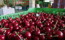 La campaña de cereza en Extremadura se retrasa entre 15 y 20 días