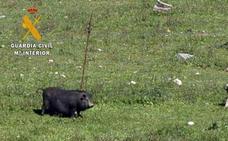 Investigan la introducción de cerdos vietnamitas en Navalvillar de Pela