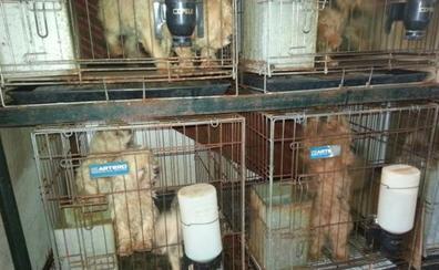 El acusado del criadero ilegal en Don Benito reconoció ante la Guardia Civil que era él quien operaba a los perros