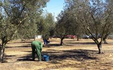 Apag Extremadura reclama a la Junta el abono de 9,5 millones que adeuda a los olivareros