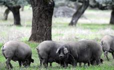 Un total de 270.306 cerdos ibéricos se han cebado esta montanera en la región, según UPA
