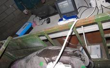 Inyecciones que evitan la castración del cerdo ibérico