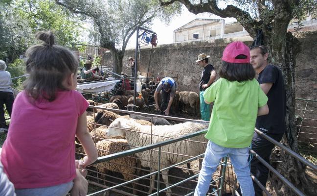 Organizan un día de esquila de ovejas en Cáceres
