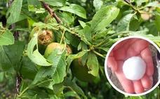El granizo provoca graves daños en tomate, olivar y cereal