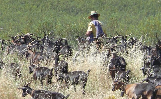 Una oportunidad para los cabreros en Extremadura