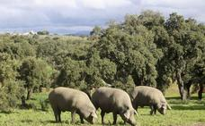 El número de cerdos en montanera crece pese al retraso en la campaña