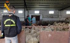Detenido un ganadero en Zafra por denunciar el falso robo de 86 ovejas para cobrar el seguro